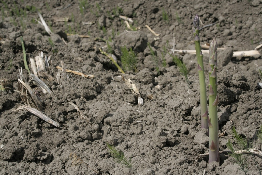 Asparagus Shoots: each underground crown produces 2-3 pounds of asparagus every week.