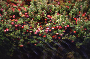 Cranberries flooded under water in the bog www.wikipedia.org