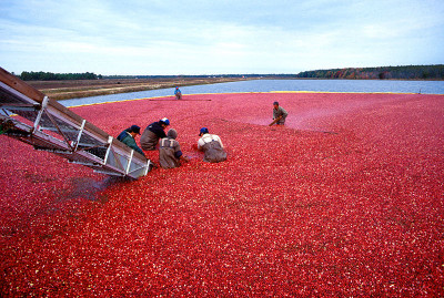 Cranberries being loaded onto a tractor trailer bed. www.wikipedia.com