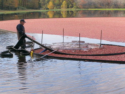 Vinyl booms being pulled around the floating cranberries www.wikipedia.com