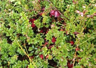 Cranberries on the vine