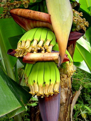 Bananas growing out the flower Wikipedia