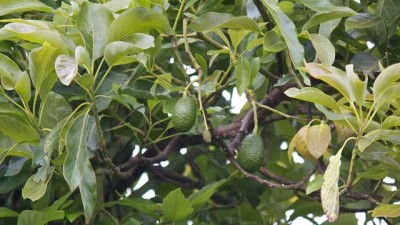 MVP Avocado tree