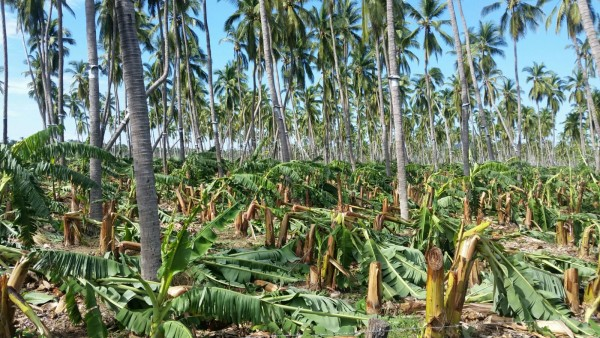 Coliman banana trees knocked down by hurricane Patricia