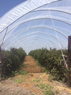 Blackberry plants under hoops