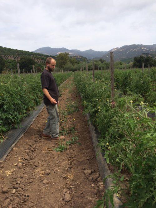 Jack examines his tomato crops