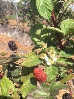 Open Field Blackberries 2