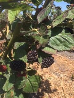 Open Field Blackberries