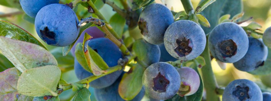 Forbidden Blueberries