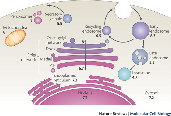 Кислотно-щелочной баланс клетки