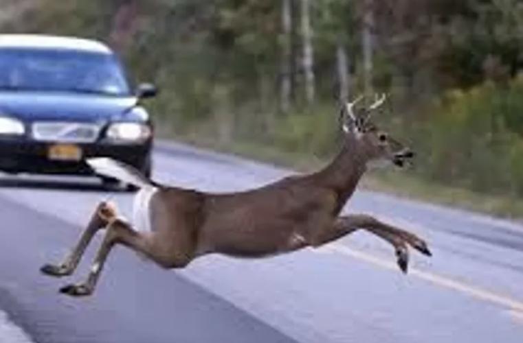 Flooding will soon push deer across 41 North