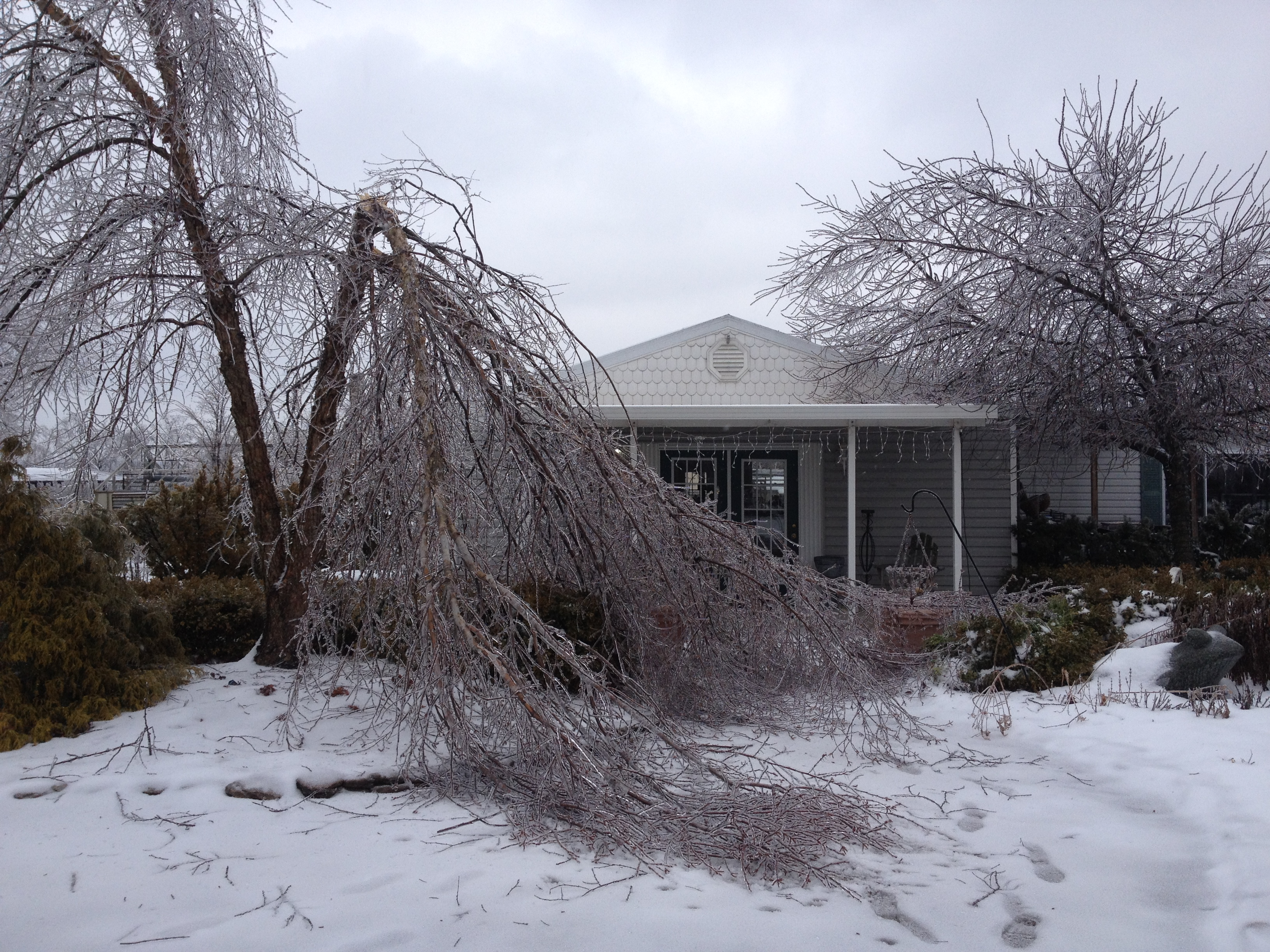 River Birch ice damage in front of garden center