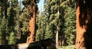 redwoods ead