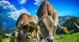 cows ead