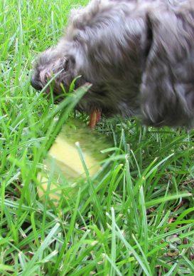 {BestBullySticks} (wheat, gluten, grain and dairy-free, vegan, vegetarian) pineapple cucumber mint dog treat recipe
