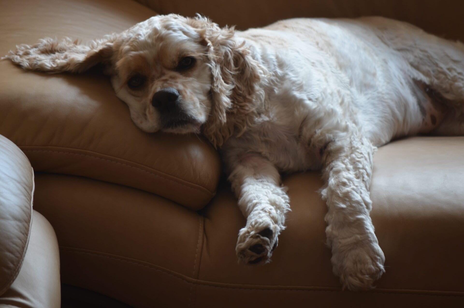 american cocker spaniel dog puppy_075