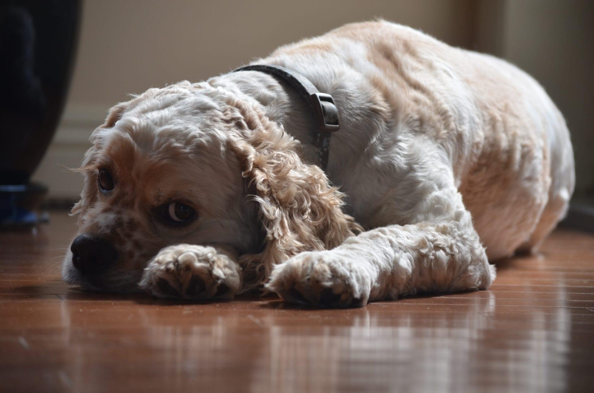 american cocker spaniel dog puppy_076