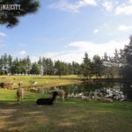 【Sydney Life】Kurrajong Heights (Alpaca Farm)  & Bilpin (Apple Farm), NSW