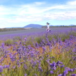 【Travel】Bridestowe Lavender Farm .::Strolling in a field of purple::.