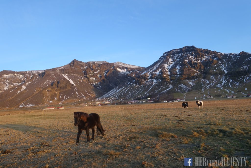 【Magical Iceland】Unicorns! I mean, Icelandic horses!