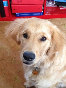 Jenn's Golden Retriever puppy, Timmy