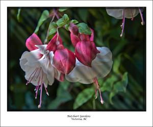 024-Victoria Gardens Pink buds