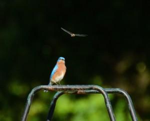 060-Bluebird & Dragonfly