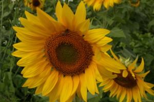 198-Sunflower Beauty