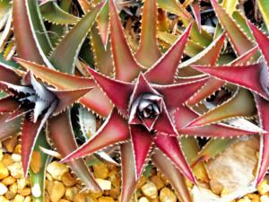 Dyckia Platyphylla