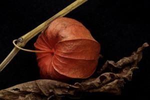Japanese Lantern On Leaf -- Best of Merit