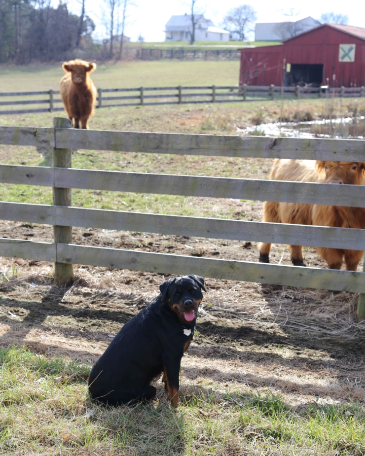 rottweiler with cattle