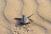 Aitutaki - Turtles of the World