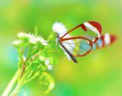 Penrhyn - Butterflies of the World