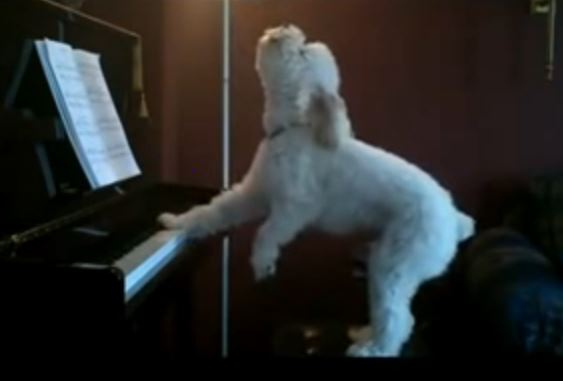 Sign This Pup Up For American Idol He Can Sing AND Play The Piano! He Has Our Vote!