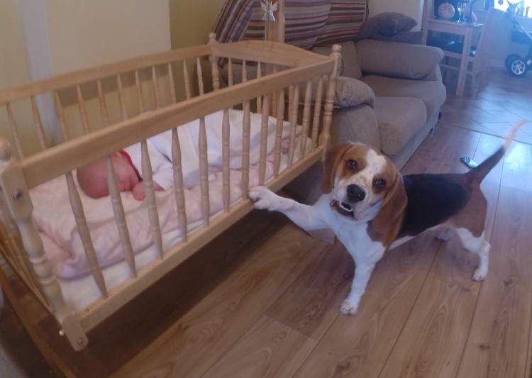 A Beagle Has Some Awesome Motherly Instincts.
