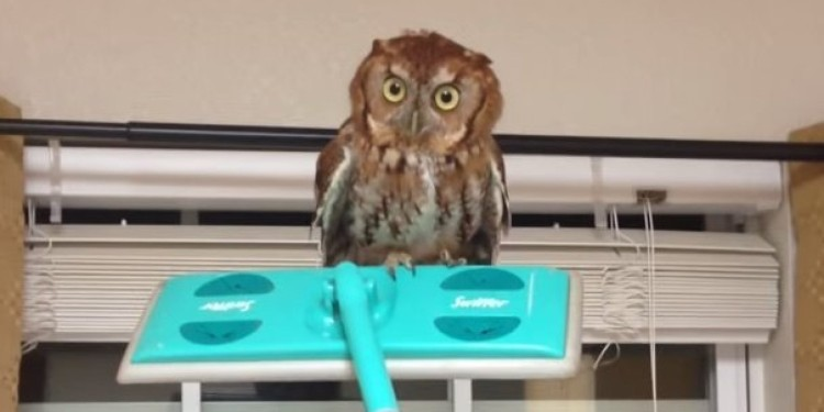 This Owl Gives The Stare Of Death While A Man Hilariously Tries To Remove It From His Kitchen.