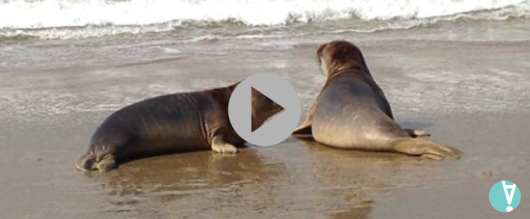 Back To The Sea: Two Elephant Seals are Released After Being Rehabilitated