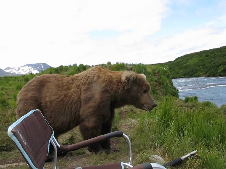 This guy is only steps away from a brown bear but it almost seems safe enough to pet this cute and cuddly animal!