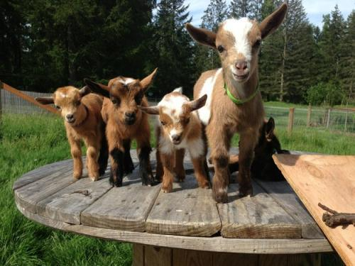 Your Life Will Not Be Complete Until You See These 21 Photos Of Baby Goats.