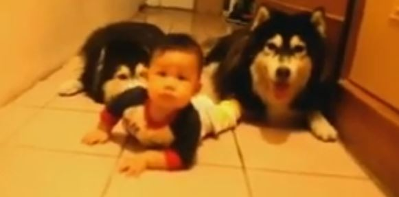 A Baby Has A Crawling Race With Two Huskies. Who Is Going To Win?!?