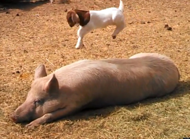 This Baby Goat Is Having The Best Day Ever Climbing On A Pig!