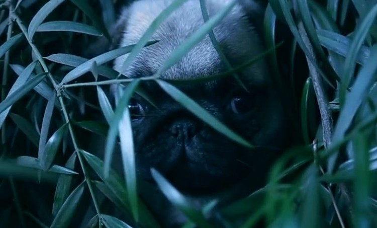 Dawn Of The Planet Of The Pugs!