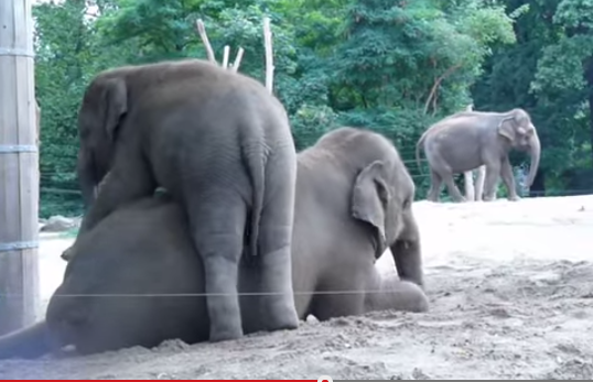 Mom Elephant Makes The Best Ride-On Toy!