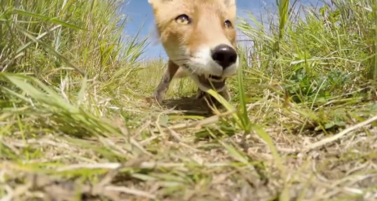 A Fox Decides A GoPro Would Be A Good Snack
