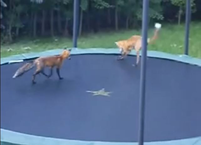 This Fox Loves Trampolines too!