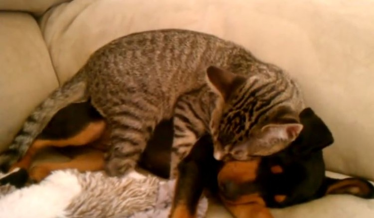 Kitty Knows His Friend Isn't Feeling Well So He Provides Some TLC