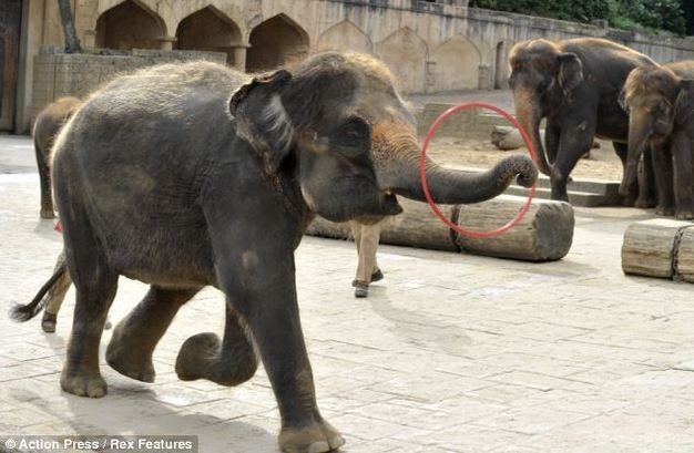 Make Your Friday Even Happier With A Hoola-Hooping Elephant.