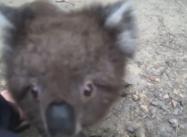 Adorable Koala Wants to Cuddle