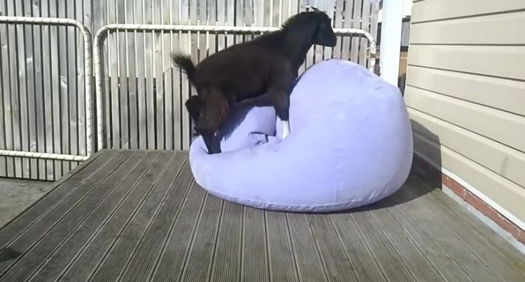 Goat Has A Ball On A Blow Up Couch!