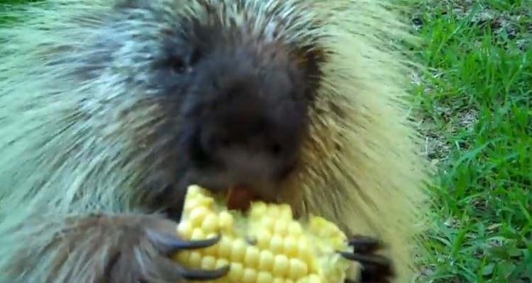 Porcupine Is NOT Ok With Sharing His Corn
